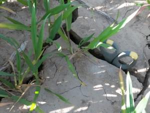 Trockenriss im Weizen 2-2020-04-22
